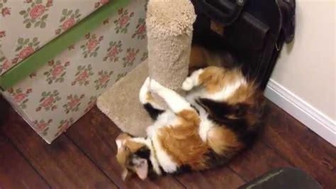 calico cat crazy goes