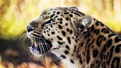 1080p Leopard Wallpapers 1080 1920