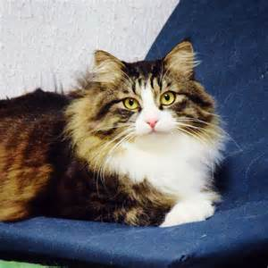 maine coon cat breed information pictures characteristics facts