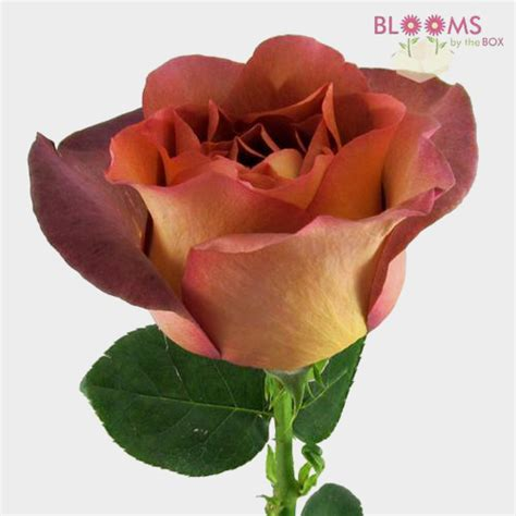 An exquisite fusion of the two colors on the petals of perfect form makes this hybrid tea rose is a real. Rose Coffee Break 40 cm. (Large Head) - Wholesale - Blooms ...