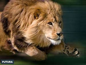 fond d39ecran lion en chasse With plan de maison original 14 fond decran lion blanc