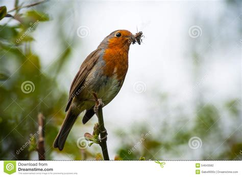 red robin bird eating an insect stock photo image of