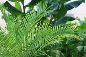 Pflege Von Zimmerpflanzen : dattelpalme phoenix palme pflege von a z und berwintern ~ Markanthonyermac.com Haus und Dekorationen