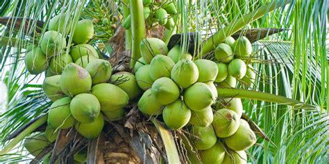 inilah 11 manfaat buah kelapa untuk kesehatan burangir com