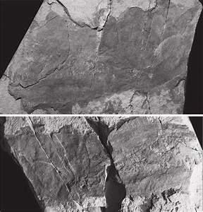 Acutiramus Cf  Bohemicus Chelicera Depicted In Burrow Et