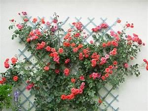 Rosier Grimpant Remontant : liste res rosiers de lisaimie ~ Melissatoandfro.com Idées de Décoration