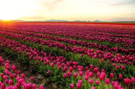 Tulip Fields | Mount Vernon, Skagit County, WA | Meher ...