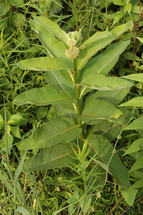 file common milkweed asclepias syriaca plant 2000px jpg