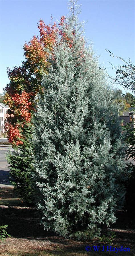 cupressus arizonica blue pyramid late fall woody plants