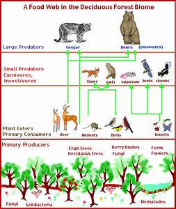 Temperate Deciduous Forests  Food Web For Deciduous Forests