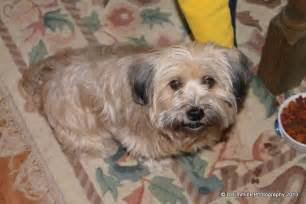 Lhasa Apso Mix Shedding Lhasa Apso And Chihuahua Mix Puppies Care Breeds Picture