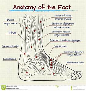 Athletes Foot Cell Diagram