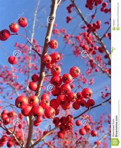 Strauch Mit Roten Beeren Im Winter : rode bessen op een boom in de winter stock afbeelding afbeelding bestaande uit haagdoorn ~ Frokenaadalensverden.com Haus und Dekorationen