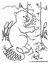 Beaver Coloring Pages Printable Chewing Activity Colormountain Getcolorings sketch template