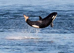 Ship Noise Stops Orca Whales From Talking To Each Other