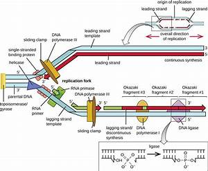 Dna Replication  U2013 Microbiology