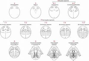 Summary Of All Developmental Stages Of Daphnia Magna  The Major
