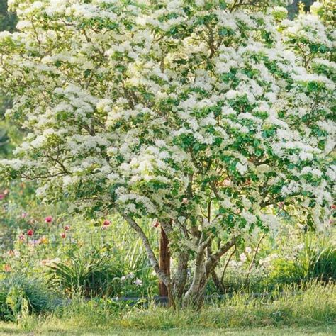 tree white blooms early 1000 images about trees on pinterest early spring front yards and sales representative