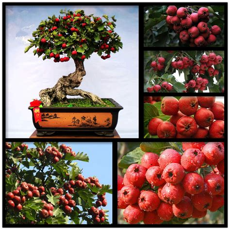 pcs rare hawthorn heirloom bonsai moon flower tree seeds