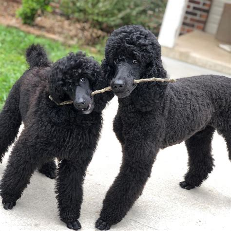noir poodles blog moyen poodles noir poodles