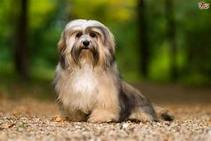 Havanese Dog Breed Information, Buying Advice, Photos and ...