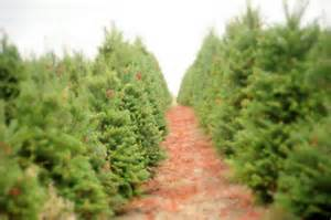 how to choose a living tree to replant after christmas christmas tree farm in oregon inhabitat
