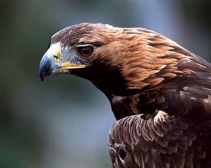 Eagle Golden Animal Spirit Eagles Animals Totems