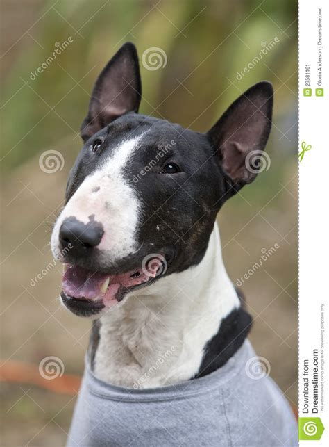 bull terrier smiling stock image image  adorable
