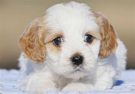 Cavoodle Puppies For Sale  Chevromist Kennels