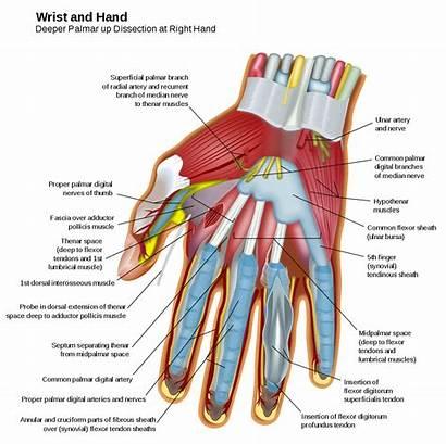 Hand Muscles Wrist Palmar Svg Wikipedia Wiki