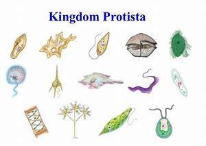 43 best images about Kingdom: Protoctista on Pinterest ...