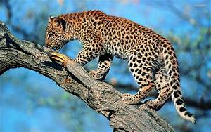 Leopard Latest & New HD Wallpapers 2012 | Wallpapers World