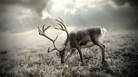 Reindeer Wallpaper Hd by Reindeer Antlers Hd Wallpaper Reindeer Hd Wallpaper Deer