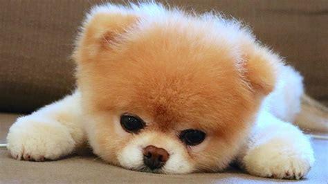 gestatten boo der niedlichste hund der welt ffhde