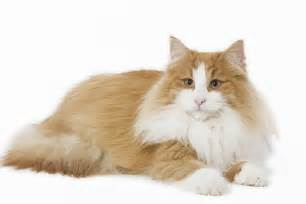 forest cat breeders catz inc breeders list forest cat