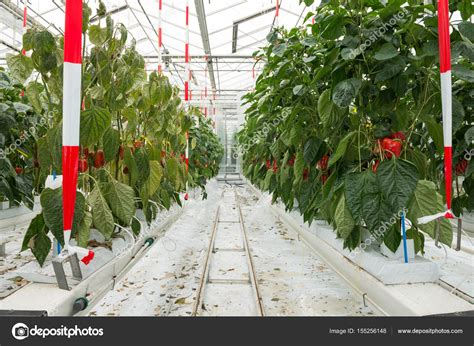 paprika anbau im gew 228 chshaus stockfoto 169 corepics 155256148