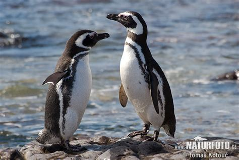 magellanic penguin prairies  penguins