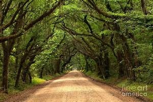 Bowing Oak Trees Photograph by Adam Jewell