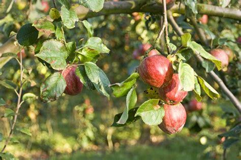 chambre d agriculture marne les pommes du verger de la ferme photo de seine et marne