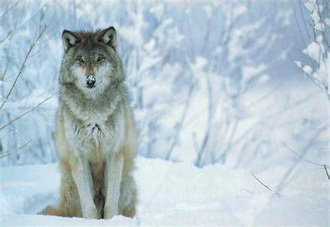 victoire pour le loup