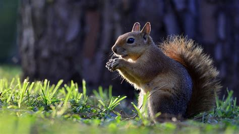 animals squirrel hd wallpapers  mobile phones
