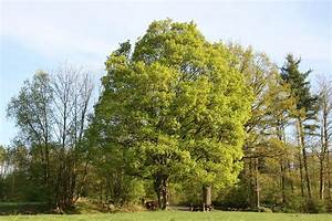 Ahorn Frucht Name : feldahorn wikipedia ~ Frokenaadalensverden.com Haus und Dekorationen