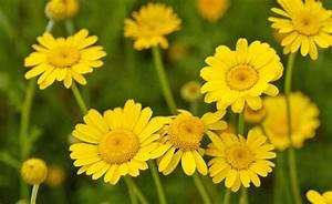Geranien Gelbe Blätter : stoffe f rben die besten f rberpflanzen mein sch ner garten ~ Orissabook.com Haus und Dekorationen