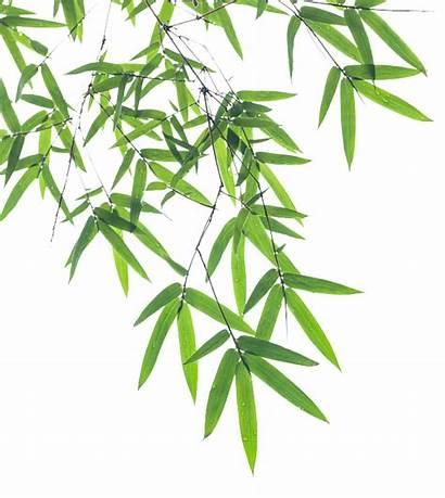 Bamboo Leaf Transparent Clipart Euclidean Plant Vektor