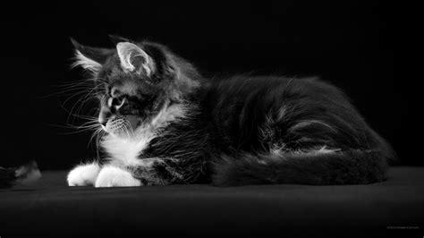 fond de bureau gratuit 2560 x 1440 noir et blanc fonds d 39 écran à bureau chats