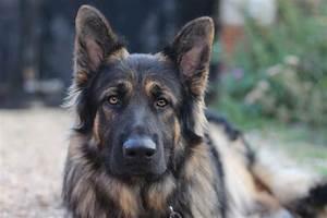 Longhaired black/tan& german shepherd puppies | Iver ...