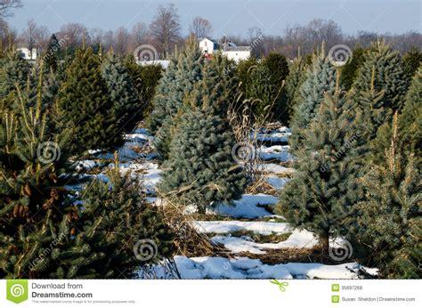 michigan christmas tree farm royalty free stock photos