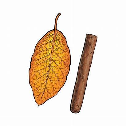Vector Tobacco Leaf Cigar Clip Sketch Brown