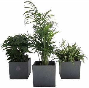 Palmen Kaufen Baumarkt : dominik zimmerpflanze palmen set h he 15 cm 3 pflanzen in dekot pfen online kaufen otto ~ Orissabook.com Haus und Dekorationen