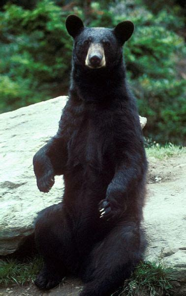 north american black bear ursus americanus animals